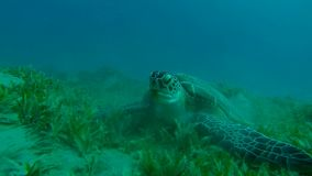 Hawksbill turtle from all sides. Hawksbill turtle view from all sides stock video