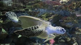The Hawksbill turtle a in an aquarium. Eretmochelys imbricata.  stock video