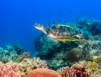 Hawksbill turtle in awful vis Stock Images