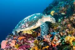 Hawksbill Turtle at Batu Balong, Komodo. stock photography