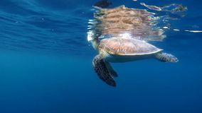 Hawksbill turtle at breath in slow motion stock video