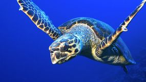 Hawksbill turtle close encounter Royalty Free Stock Photography