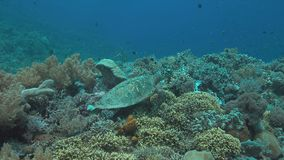 Hawksbill turtle on a Coral reef 4k. Hawksbill turtle on a colorful coral reef. Searching for food 4k footage stock footage