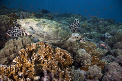 Hawksbill turtle, coral and ocean Royalty Free Stock Photography