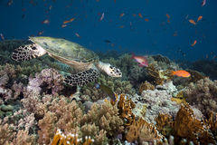Hawksbill turtle, coral and ocean Royalty Free Stock Photos