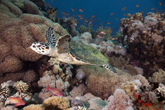 Hawksbill turtle, coral and ocean Royalty Free Stock Photo