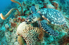 Hawksbill turtle and coral reef Royalty Free Stock Images