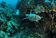 Hawksbill turtle and coral reef Stock Image