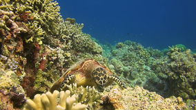 Hawksbill turtle on a coral reef stock video footage
