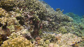 Hawksbill turtle on a coral reef stock footage