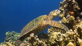 Hawksbill turtle on a coral reef stock video