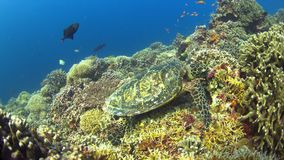 Hawksbill turtle on a Coral reef while eating. 4k footage stock video footage