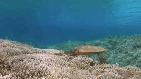 Hawksbill turtle on a Coral reef while eating stock footage