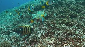 4k Hawksbill turtle on a Coral reef while eating. Hawksbill turtle on a Coral reef while eating. Together with Bannerfishes and Angelfishes 4k footage stock video footage