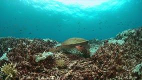 Hawksbill turtle on a Coral reef. 4K. Hawksbill turtle on a colorful coral reef. 4k footage stock footage