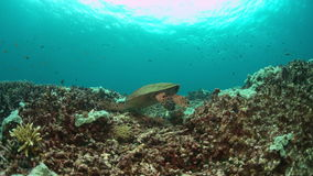 Hawksbill turtle on a Coral reef. 4K. Hawksbill turtle on a colorful coral reef. 4k footage stock video footage