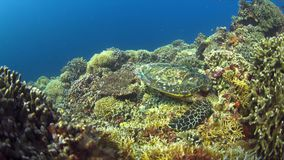 Hawksbill turtle on a Coral reef 4K. Hawksbill turtle on a Coral reef. 4k footage stock footage
