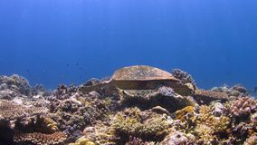 Hawksbill turtle on a Coral reef 4K stock video