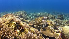 Hawksbill turtle on a Coral reef 4K stock footage