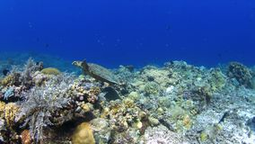 Hawksbill turtle on a Coral reef 4K stock video footage