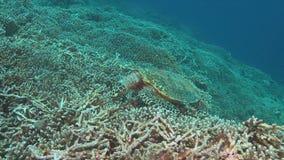 Hawksbill turtle on a coral reef 4k. Hawksbill turtle on a coral reef. 4k footage stock video