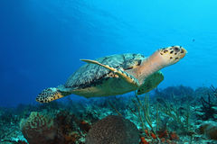 Hawksbill Turtle - Cozumel. Hawksbill Turtle (Eretmochelys imbricata) swimming over a coral reef - Cozumel, Mexico Stock Images