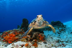Hawksbill Turtle - Cozumel, Mexico Stock Photography