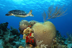 Hawksbill Turtle - Cozumel, Mexico Stock Image