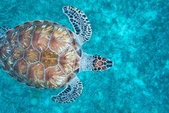 Hawksbill turtle in Curaçao Stock Photo