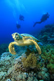 Hawksbill Turtle and Divers Royalty Free Stock Image