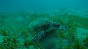 Hawksbill turtle while eating on the sea floor in slow motion stock footage
