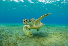 Hawksbill turtle eating sea grass from sandy bottom. Wild animal underwater photography, marine life, diving and snorkeling activities Stock Image