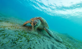 Hawksbill turtle eating sea grass from sandy bottom. Wild animal underwater photography, marine life, diving and snorkeling activities Stock Photo