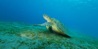 sea turtle eating stock photo image  feeding grand