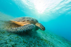 Hawksbill turtle eating sea grass from sandy bottom. Wild animal underwater photography, marine life, diving and snorkeling activities Stock Images
