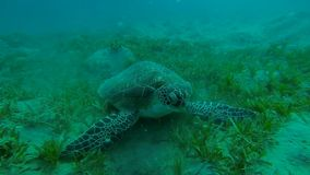 Hawksbill turtle while eating on the seabed stock video