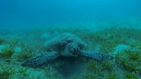Hawksbill turtle eats seaweed stock footage