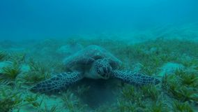 Hawksbill turtle eats seaweed Slow Motion stock footage