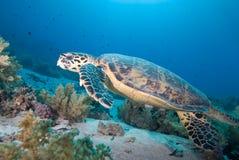 Hawksbill turtle (eretmochelys imbricata) Stock Images