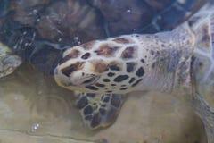 Hawksbill turtle & x28;Eretmochelys imbricata. Reef, sea, coral, underwater, ocean, tropical, scuba, aquatic, antilles, unterwasser, ecosystem, hard, summer royalty free stock image