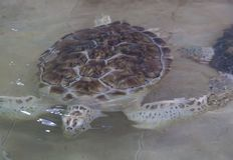 Hawksbill turtle & x28;Eretmochelys imbricata. Reef, sea, coral, underwater, ocean, tropical, scuba, aquatic, antilles, unterwasser, ecosystem, hard, summer royalty free stock photos