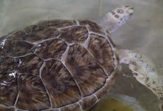 Hawksbill turtle & x28;Eretmochelys imbricata. Reef, sea, coral, underwater, ocean, tropical, scuba, aquatic, antilles, unterwasser, ecosystem, hard, summer royalty free stock images