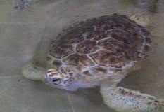 Hawksbill turtle & x28;Eretmochelys imbricata. Reef, sea, coral, underwater, ocean, tropical, scuba, aquatic, antilles, unterwasser, ecosystem, hard, summer royalty free stock photography