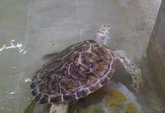 Hawksbill turtle & x28;Eretmochelys imbricata. Reef, sea, coral, underwater, ocean, tropical, scuba, aquatic, antilles, unterwasser, ecosystem, hard, summer royalty free stock photo