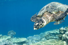 Hawksbill Turtle Eretmochelys Imbricata Stock Photo