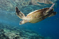 Hawksbill Turtle Eretmochelys Imbricata Stock Photography