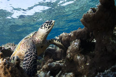 Hawksbill Turtle Eretmochelys Imbricata Royalty Free Stock Photography