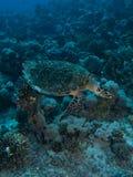 Hawksbill turtle (Eretmochelys imbricata) Royalty Free Stock Photography