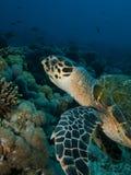 Hawksbill turtle (Eretmochelys imbricata) Royalty Free Stock Photos