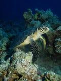 Hawksbill turtle (Eretmochelys imbricata) Stock Photography